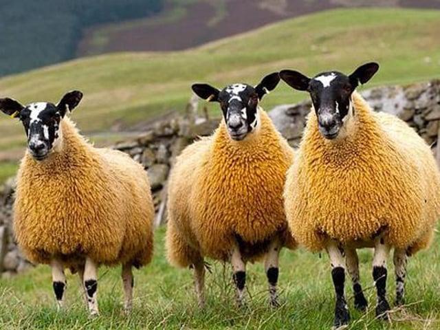 Scotch Mule sheep.