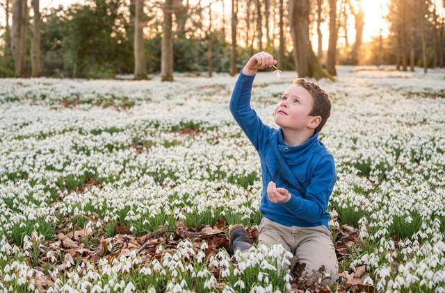 Five year old Oscar Norris in his own private snowdrop forest. Photo: Phil Wilkinson.