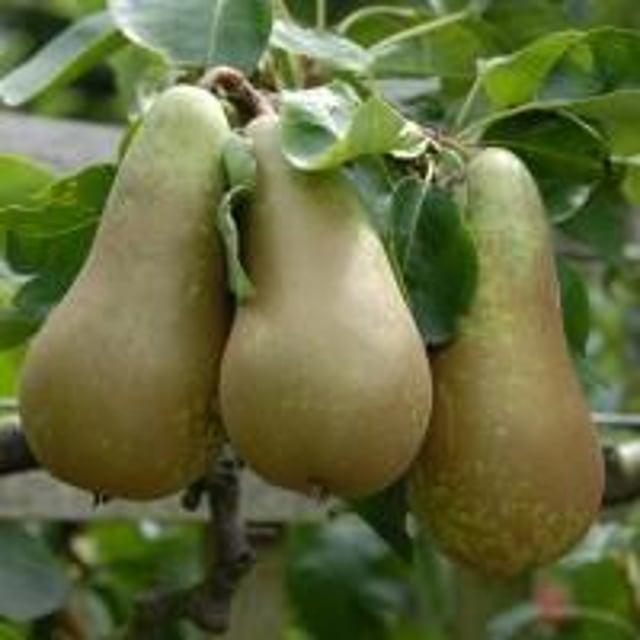 Pear tree theft.