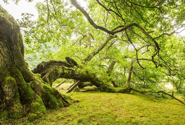 The Capon Tree. (Photo: BILL McBURNIE)