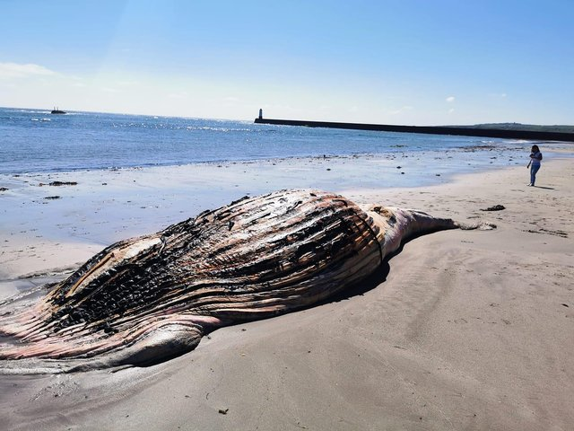 The whale which was washed up near Berwick pier this morning.
